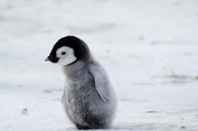 Január 20-a a Pingvin tudatosság napja